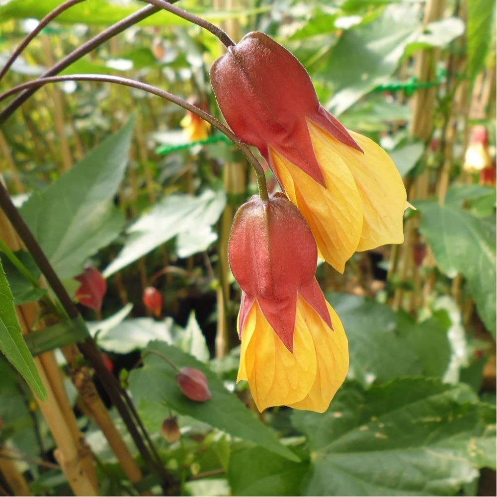 Abutilon megapotamicum Kentish Belle  3 Litre
